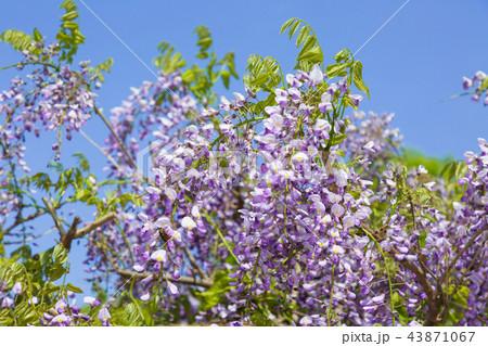 藤の花 43871067