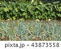 ネギと里芋の畑 43873558