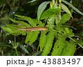 トカゲ カナヘビ ニホンカナヘビの写真 43883497