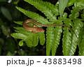 トカゲ カナヘビ ニホンカナヘビの写真 43883498