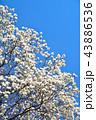 ハクモクレン 花 モクレンの写真 43886536