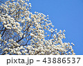 ハクモクレン 花 モクレンの写真 43886537