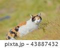 猫 43887432