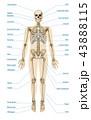 ヒューマン 組織 骨格のイラスト 43888115