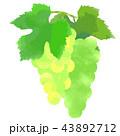ぶどう 葡萄 果物のイラスト 43892712