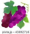ぶどう 葡萄 果物のイラスト 43892716