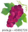 ぶどう 葡萄 果物のイラスト 43892720