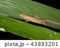 トカゲ カナヘビ ニホンカナヘビの写真 43893201
