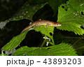 トカゲ カナヘビ ニホンカナヘビの写真 43893203