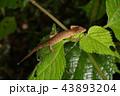 トカゲ カナヘビ ニホンカナヘビの写真 43893204