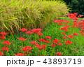寺坂棚田 田んぼ 彼岸花の写真 43893719