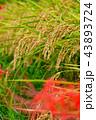 稲穂 田んぼ 秋の写真 43893724