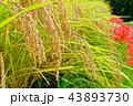寺坂棚田の風景 43893730