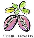筆描き 野菜 あけび 43898445
