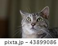 猫 アップ かわいいの写真 43899086
