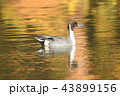 池 鴨 鳥の写真 43899156