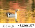 池 オナガガモ カモの写真 43899157
