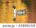 池 鴨 鳥の写真 43899158
