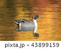 池 鴨 鳥の写真 43899159