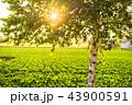 白樺 幹 畑の写真 43900591