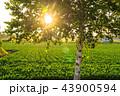 白樺 シラカンバ 幹の写真 43900594