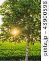 白樺 シラカンバ 幹の写真 43900598