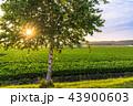 白樺 シラカンバ 幹の写真 43900603