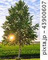 白樺 シラカンバ 幹の写真 43900607