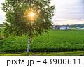 白樺 畑 夕暮れの写真 43900611