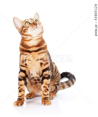 Bengal cat looking up 43905129