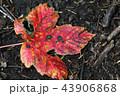 Bright red autumn leaf on ground 43906868