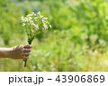 Field daisies in female hand on nature background 43906869