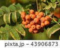 Fruits of rowan on tree close-up 43906873