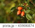Rose hips on bush close-up 43906874