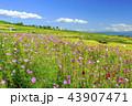棚田 秋桜 秋の写真 43907471