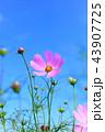 青空 コスモス 花の写真 43907725