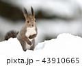 雪の中のエゾリス 43910665