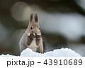 雪の中のエゾリス 43910689