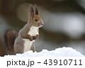 雪の中のエゾリス 43910711
