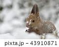雪の中のエゾリス 43910871