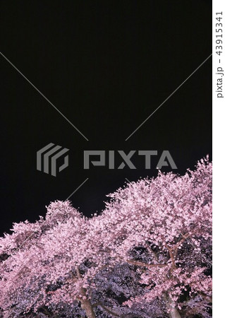 春の夜桜 43915341