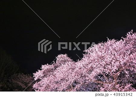 春の夜桜 43915342