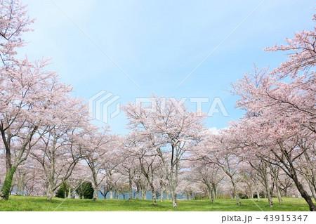 春の青空と満開の桜 43915347