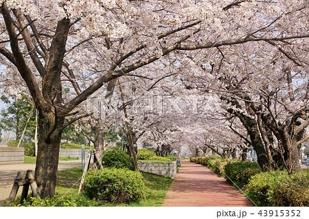 街の桜並木と遊歩道 43915352