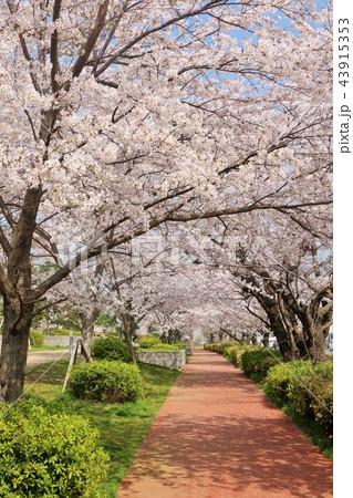 街の桜並木と遊歩道 43915353