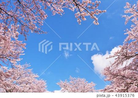 春の青空と満開の桜 43915376