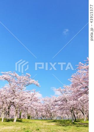 春の青空と満開の桜 43915377
