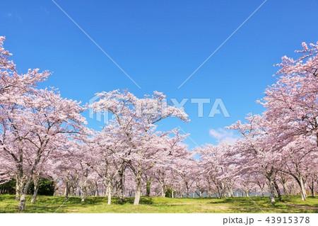 春の青空と満開の桜 43915378