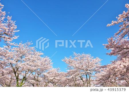 春の青空と満開の桜 43915379