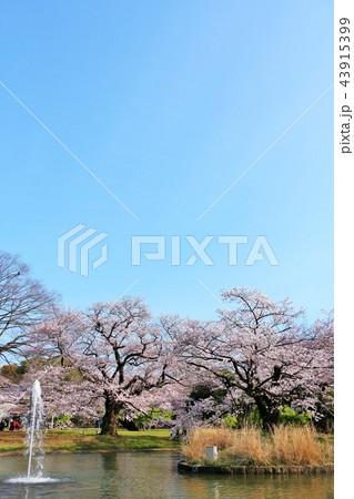 東京 代々木公園の桜風景 43915399
